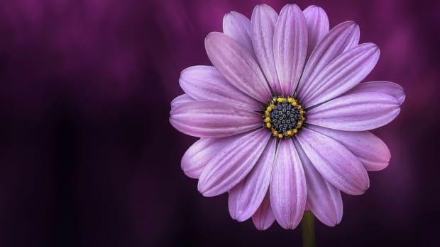 purple daisy flower with purple background